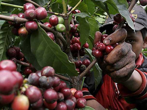 Åtta argument för ekologiskt kaffe