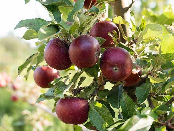 Bild på äpplen