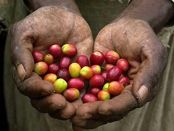 Från böna till kaffet i din kopp