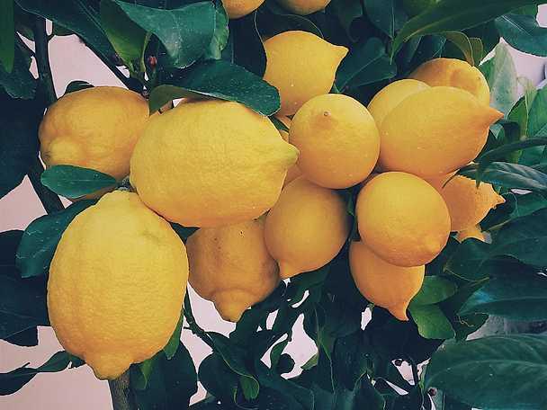 Medelhavsmat temasida citronträd
