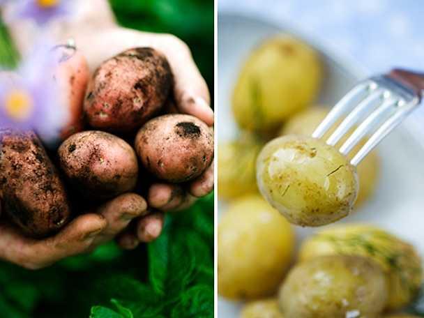 när kom potatisen till europa