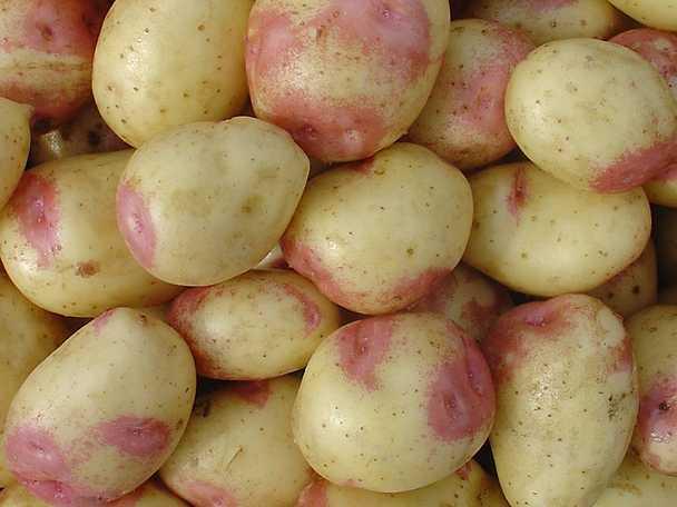 fast eller mjölig potatis till gratäng