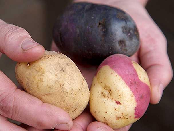 potatisskola2