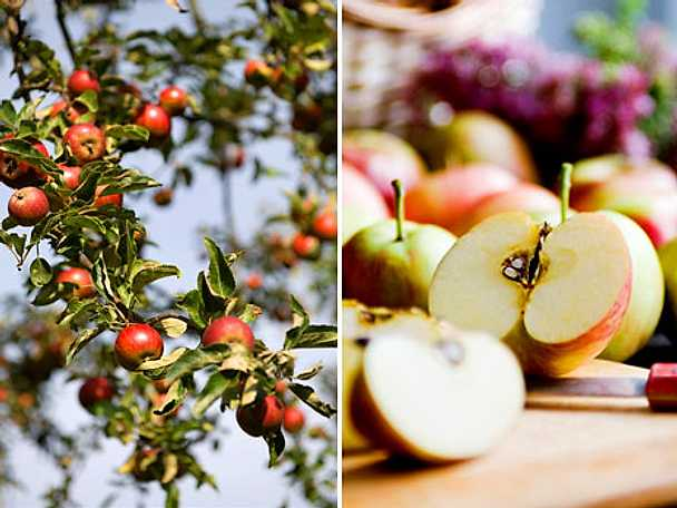 Så skördar du dina äpplen